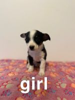 Chiweenie Puppies for sale in Grand Blanc, MI 48439, USA. price: NA