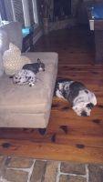 Chiweenie Puppies for sale in New Iberia, LA, USA. price: NA