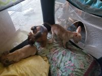 Chiweenie Puppies for sale in Sacramento, CA, USA. price: NA