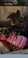 Chiweenie Puppies for sale in Silas, AL 36919, USA. price: NA