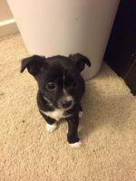 Chorkie Puppies for sale in Novi, MI, USA. price: NA
