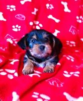 Chorkie Puppies for sale in Carrollton, GA, USA. price: NA