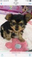 Chorkie Puppies for sale in Phoenix, AZ, USA. price: NA