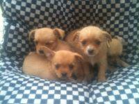 Chorkie Puppies for sale in Honolulu, HI, USA. price: NA