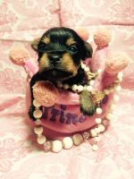 Chorkie Puppies for sale in Hartford, CT, USA. price: NA