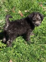 Chorkie Puppies for sale in Columbus, OH, USA. price: NA