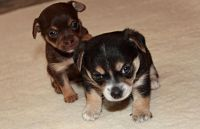 Chorkie Puppies for sale in Garden Grove, CA, USA. price: NA