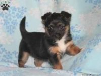 Chorkie Puppies for sale in Berkeley, CA, USA. price: NA