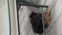 Chorkie Puppies for sale in Brockton, MA, USA. price: NA