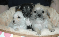 Chorkie Puppies for sale in New Orleans, LA, USA. price: NA