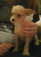 Chorkie Puppies for sale in Portland, OR, USA. price: NA