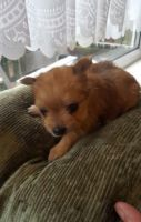 Chorkie Puppies for sale in Downey, CA, USA. price: NA