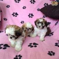 Chorkie Puppies for sale in Cedar Rapids, IA, USA. price: NA