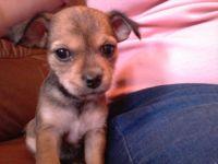 Chorkie Puppies for sale in Atlanta, GA, USA. price: NA