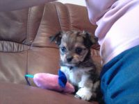 Chorkie Puppies for sale in Richmond, VA, USA. price: NA