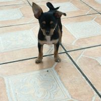 Chorkie Puppies for sale in Miami, FL 33193, USA. price: NA