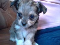 Chorkie Puppies for sale in Boston, MA, USA. price: NA