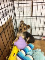 Chorkie Puppies for sale in Fremont, OH 43420, USA. price: NA