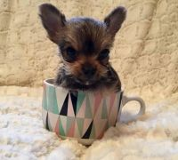 Chorkie Puppies for sale in Washington, DC, USA. price: NA