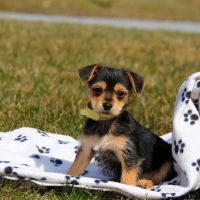 Chorkie Puppies for sale in Campus Drive, Stanford, CA 94305, USA. price: NA
