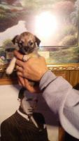Chorkie Puppies for sale in Springdale, OH, USA. price: NA