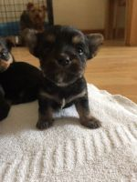 Chorkie Puppies for sale in Florida City, FL, USA. price: NA
