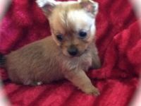 Chorkie Puppies for sale in Dublin, OH, USA. price: NA