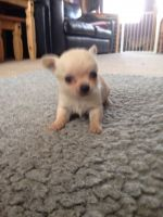 Chorkie Puppies for sale in Houston, TX 77001, USA. price: NA
