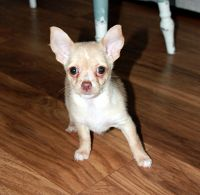 Chorkie Puppies for sale in Philadelphia, PA, USA. price: NA