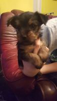 Chorkie Puppies for sale in Southfield, MI, USA. price: NA