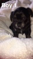 Chorkie Puppies for sale in Brooklyn, MS 39425, USA. price: NA