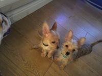 Chorkie Puppies for sale in Detroit, MI, USA. price: NA