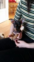 Chorkie Puppies for sale in Anchorage, AK, USA. price: NA
