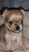 Chorkie Puppies for sale in Tempe, AZ, USA. price: NA