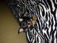 Chorkie Puppies for sale in Longview, WA, USA. price: NA