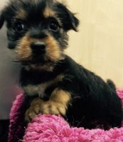 Chorkie Puppies for sale in Crestwood, KY 40014, USA. price: NA
