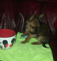 Chorkie Puppies for sale in Los Angeles, CA, USA. price: NA