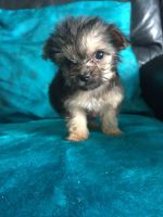 Chorkie Puppies for sale in Springfield, IL, USA. price: NA