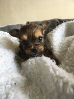 Chorkie Puppies for sale in Delaware, OH 43015, USA. price: NA