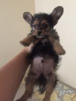 Chorkie Puppies for sale in Capitol Heights, MD 20743, USA. price: NA