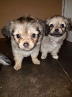 Chorkie Puppies for sale in Dallas, TX, USA. price: NA