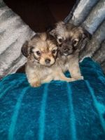 Chorkie Puppies for sale in Beverly Hills, CA, USA. price: NA