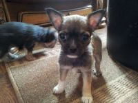 Chorkie Puppies for sale in California Rd, Mt Vernon, NY 10552, USA. price: NA