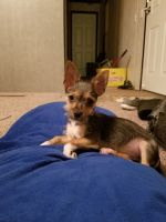 Chorkie Puppies for sale in Chesterfield, MI 48051, USA. price: NA