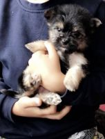 Chorkie Puppies for sale in Houston, TX, USA. price: NA