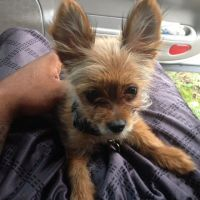Chorkie Puppies for sale in Indianapolis, IN 46227, USA. price: NA