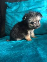 Chorkie Puppies for sale in Columbus, GA, USA. price: NA