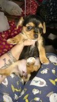 Chorkie Puppies for sale in Highland Lakes Rd, Highland Lakes, NJ 07422, USA. price: NA