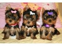 Chorkie Puppies for sale in Lincoln, NE, USA. price: NA