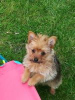 Chorkie Puppies for sale in Blue Springs, MS 38828, USA. price: NA